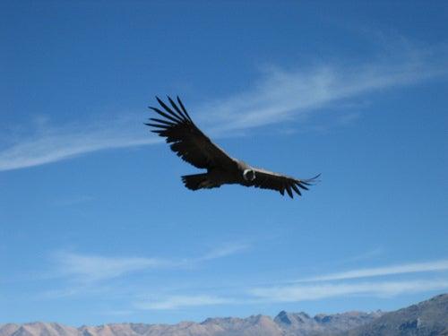 El majestuoso vuelo del cóndor