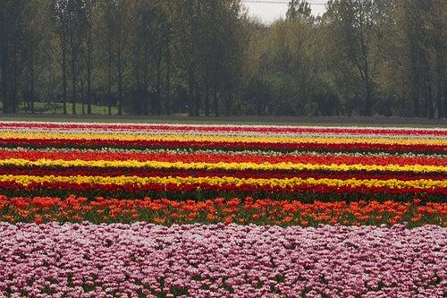 Flevolanda, Países Bajos: tierra de tulipanes y espectaculares campos