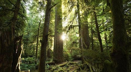 Cathedral Grove en Canadá, árboles de más de 800 años de edad