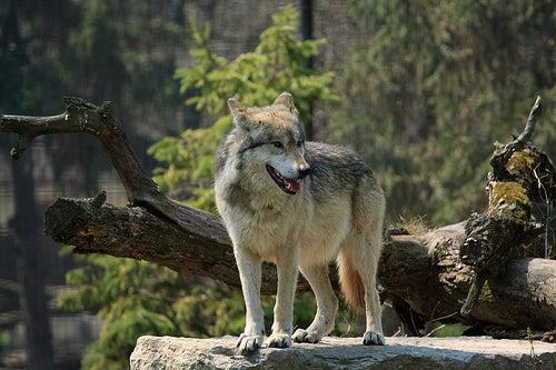 El Lobo Park lobos en el corazón de la sierra de Antequera