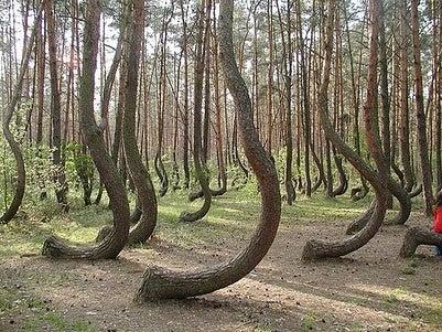 El misterio del bosque torcido de Polonia