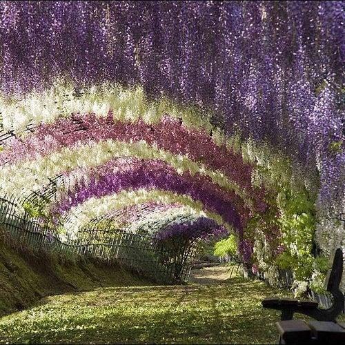 El túnel de la Wisteria, una belleza de Japón