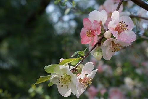 Tres lugares para ver los cerezos florecer