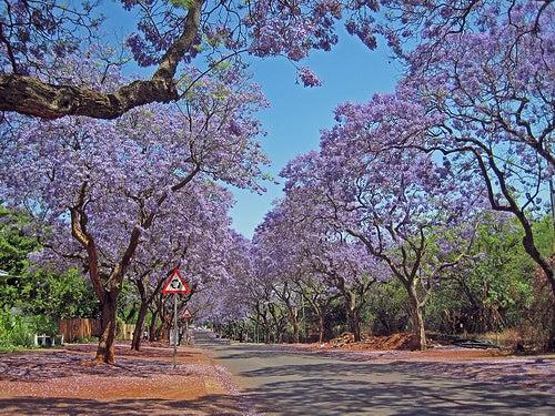 La ciudad de Pretoria: capital de Jacarandás y diplomáticos