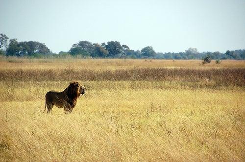 ... los Cinco Grandes: leopardo, leu00f3n, rinoceronte, bu00fafalo y elefante