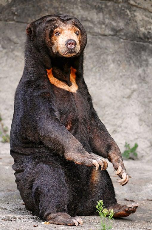 510px-Sitting_sun_bear