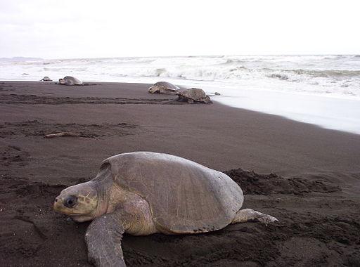 Las tortugas llegan todos los años a desovar allí,