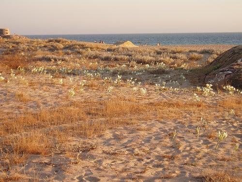 lirios-de-playa-zahara-de-los-atunes-cadiz