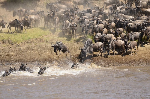 Los mayores espectáculos de la fauna de todo el mundo_gran migración