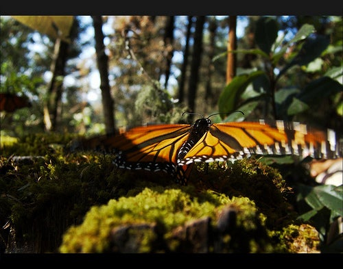 Los mayores espectáculos de la fauna de todo el mundo_santuario de la mariposa monarca méxico