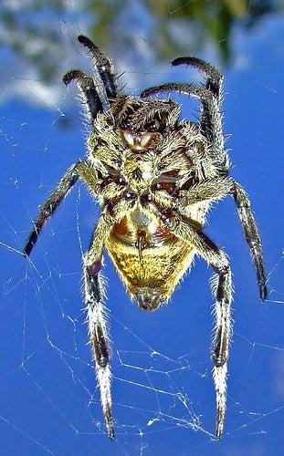En Australia está una de las arañas más peligrosas del mundo.