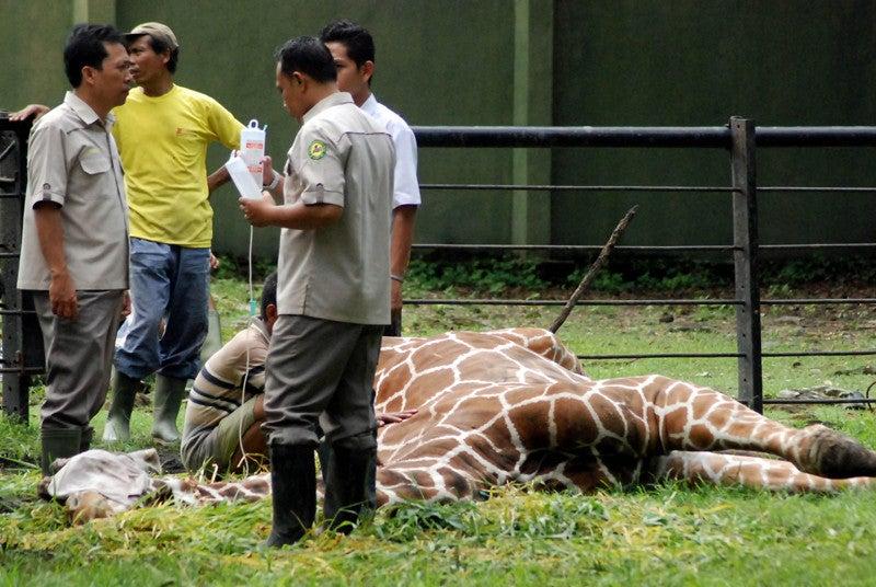 jirafa-zoo-surabaya