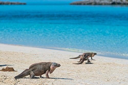 Iguanas caminando por la playa